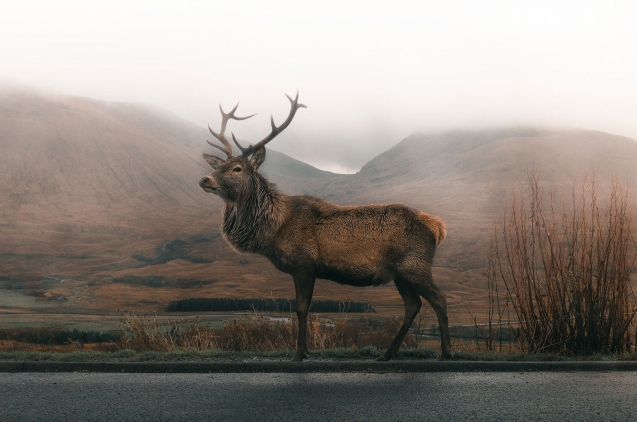 Wild Deer in a road